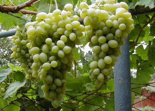 Элитные сорта винограда