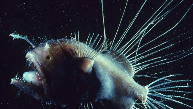 Волосатый морской черт рыба