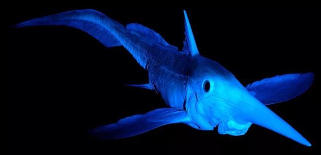 Широконосая химера рыба