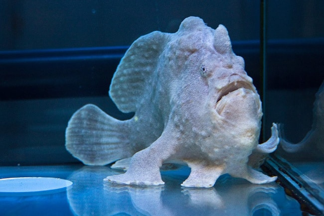 рыба – лягушка