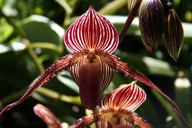 Золото Кинабалу цветок