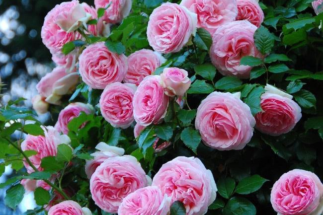 Пьер де Ронсар цветы