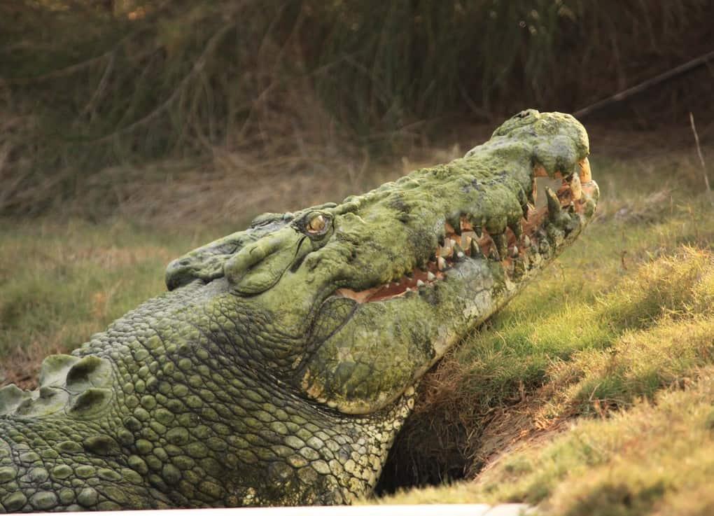 настоящие фото больших крокодилов более менее целый