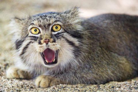 10 самых агрессивных кошек