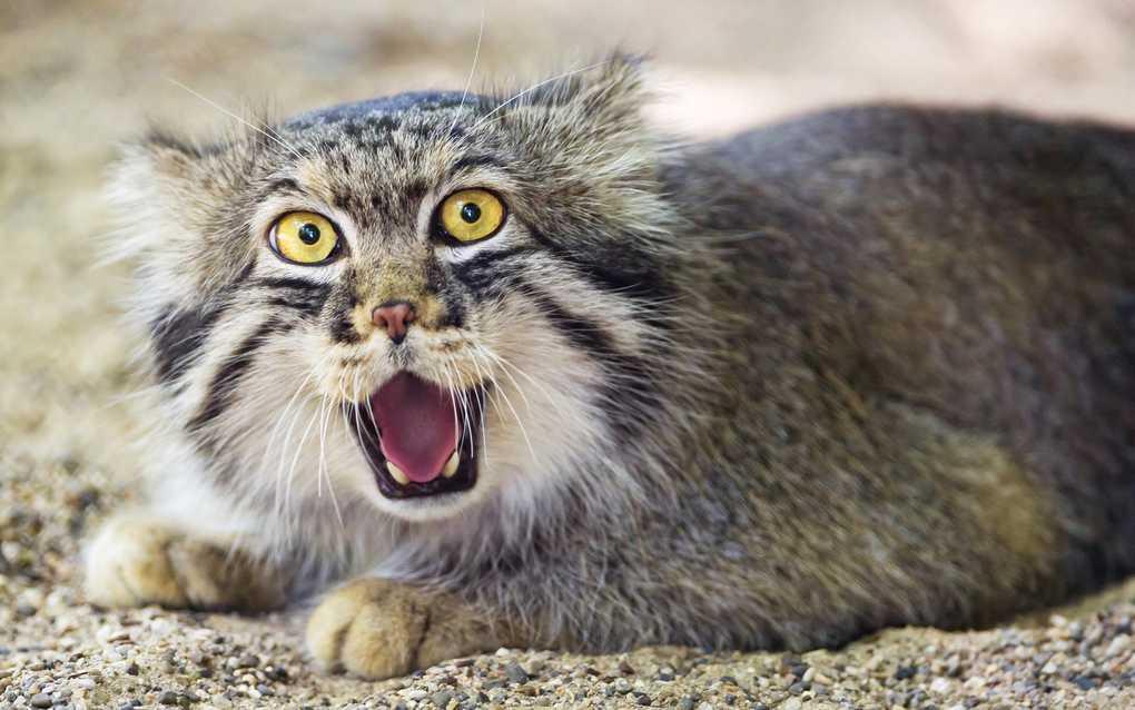 Какие породы кошек самые агрессивные и злые