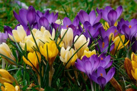 10 самых первых весенних цветов