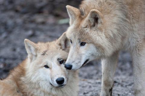 10 животных, образующих пару на всю жизнь