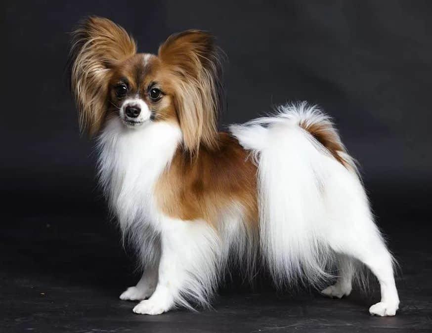маленькие породы собак и цены
