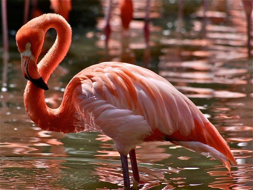 нефрит, птица фламинго картинки изображения, помещенного