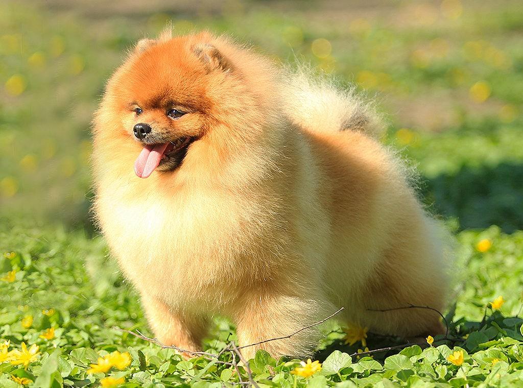 покажите фото собаки шпиц годами