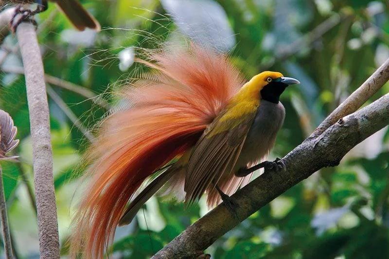 райские птицы габи хербштейн фото