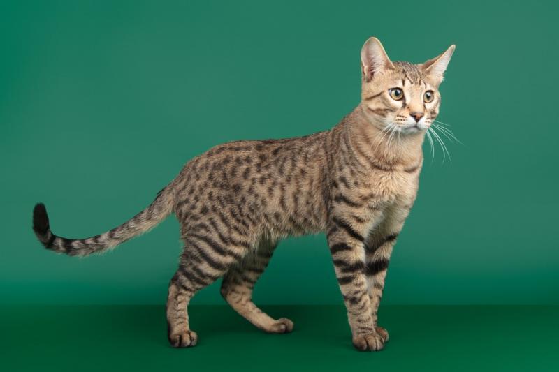 Рейтинг самых дорогих кошек в мире