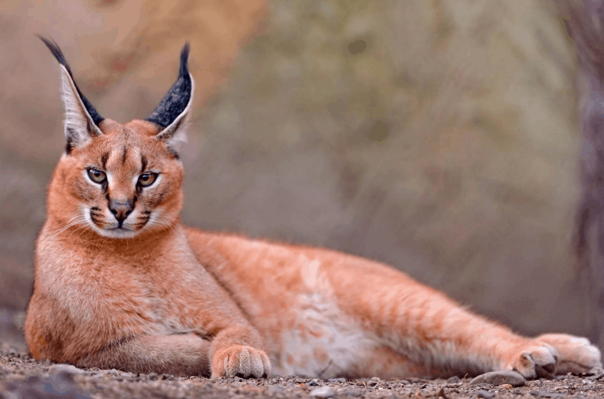 Описание самых дорогих пород кошек в мире