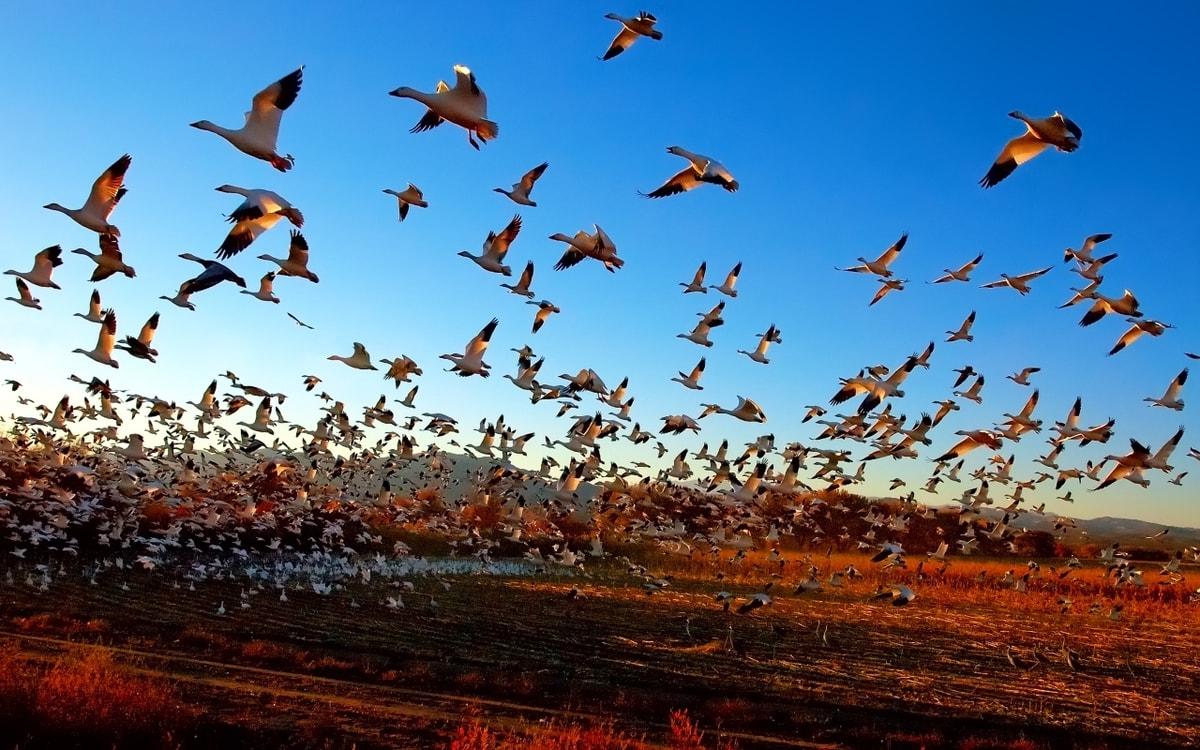максимально перелет птиц в картинках многодетной семьи