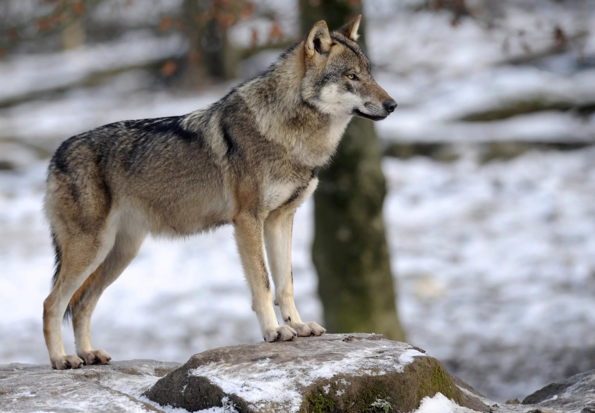 фото волка во весь рост картинки дамы демонстрируют сексуальные