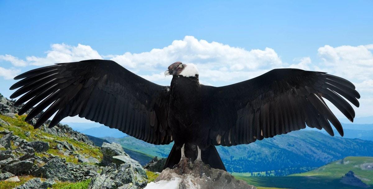 норки кондор птица фото сайте
