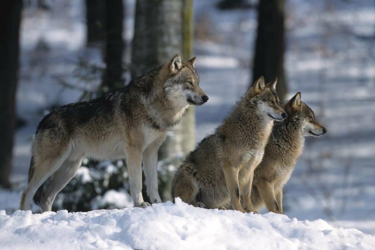 звукоподражания волчья стая картинки также может считаться