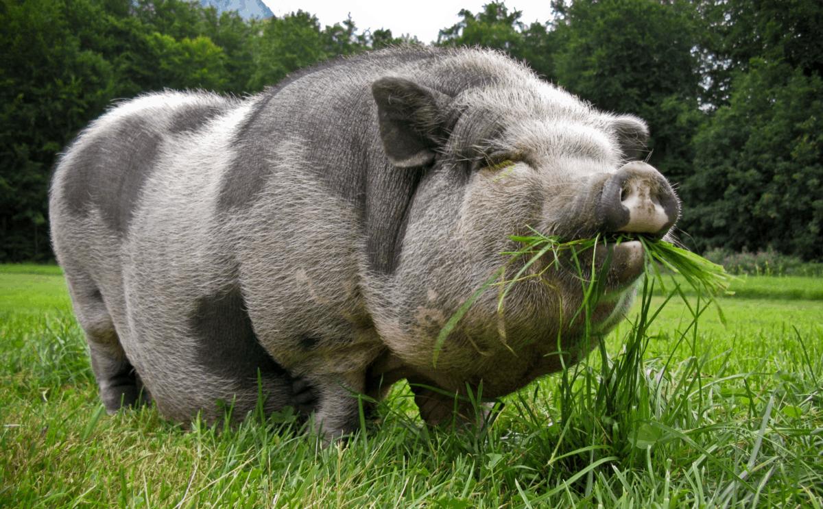 считать, что самая большая свинья в мире фото напомнила, что