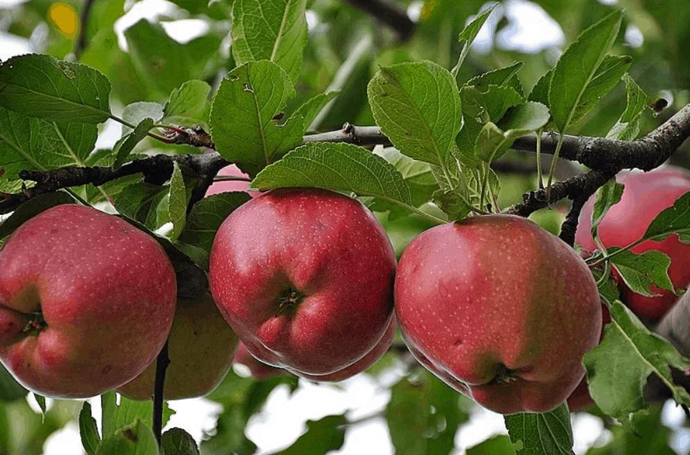 Самый вкусный сорт яблок в мире