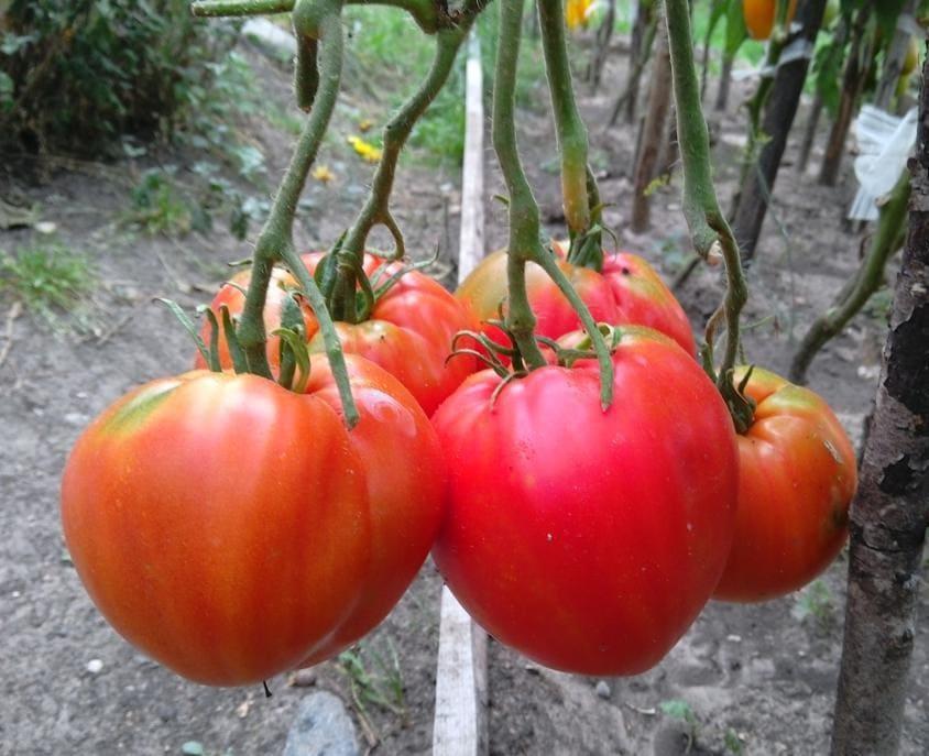 Какие помидоры самые вкусные? Топ-10 лучших сортов томатов для дачи